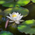 Waterlily in shade. by Dave Hare