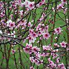 blossoms by rebecca smith