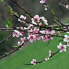 peach blooms by rebecca smith