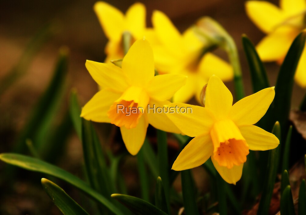 Narcissus Flowers - Harbingers of Spring by Ryan Houston