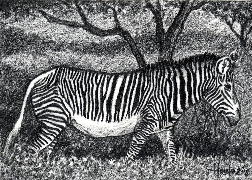 Black and White - Zebra by John Houle