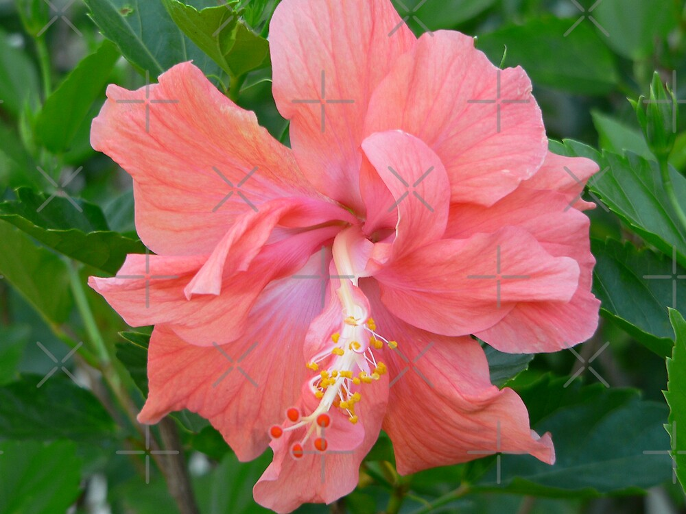 Pink Hibiscus in bloom by kevint