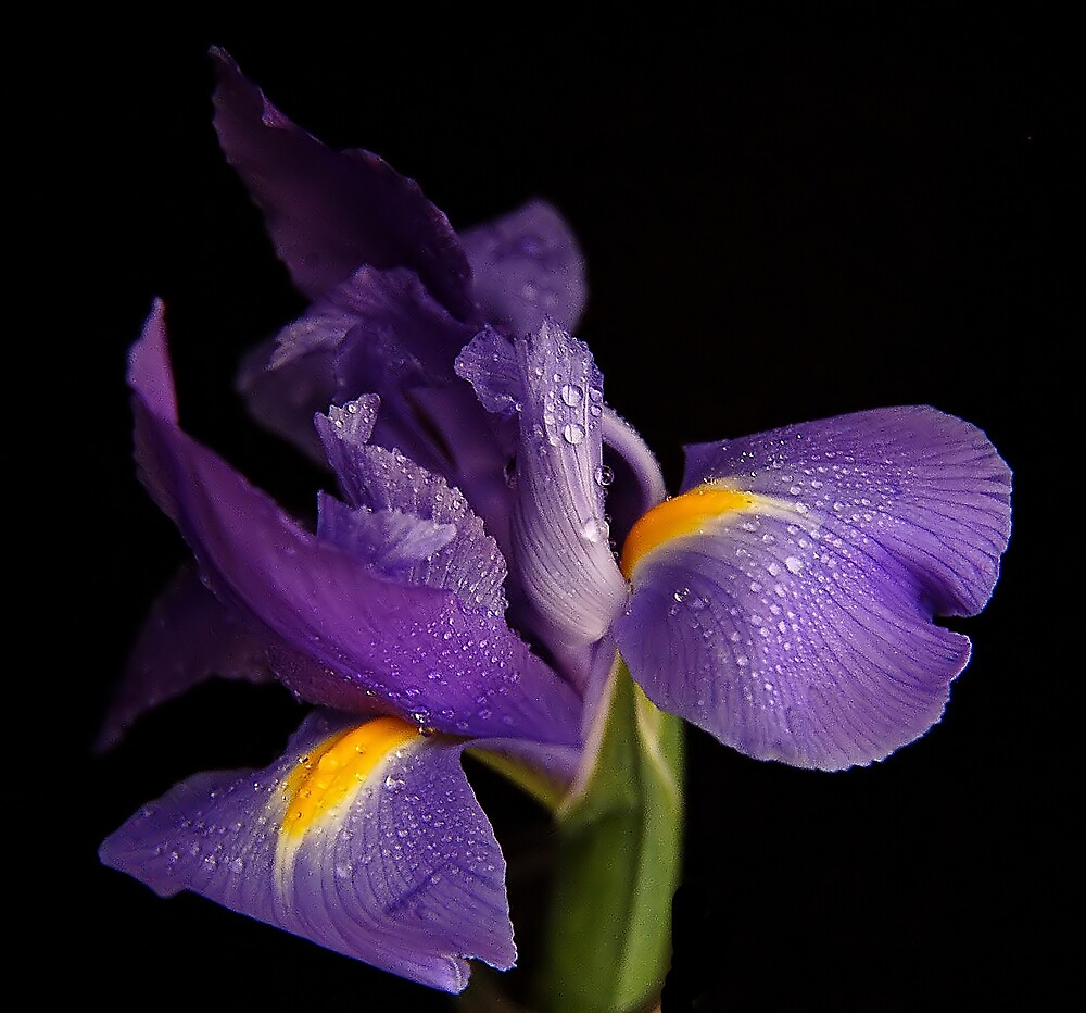 Iris by terrylazar