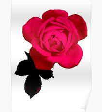 Big Beautiful Pink Rose Poster