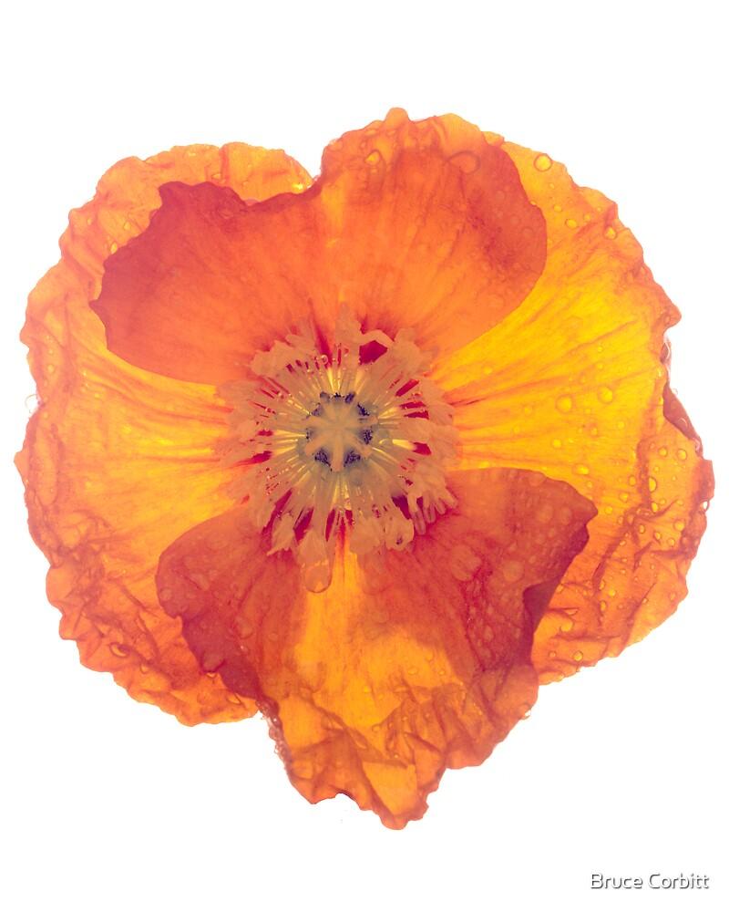 Poppy by Bruce Corbitt
