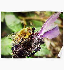 Lavender with Bee - Garden 2011  Poster
