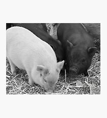 farm animals Photographic Print