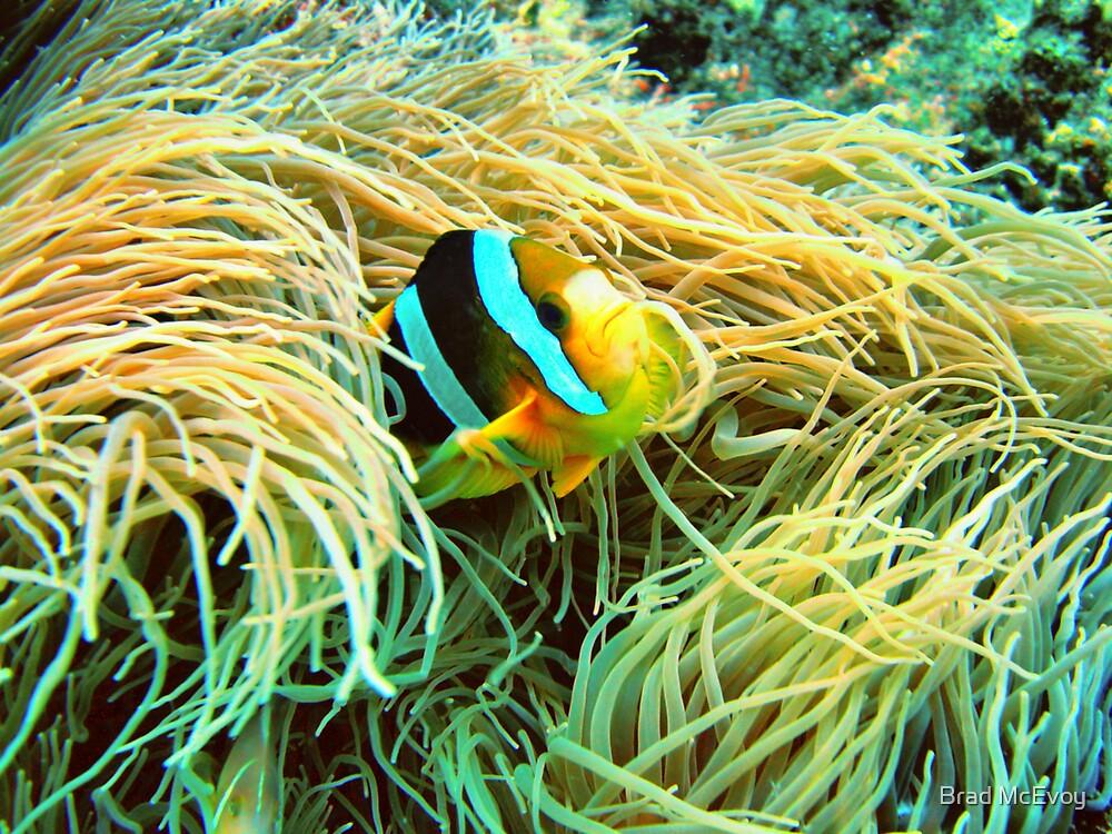 Clown Fish by Brad McEvoy