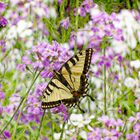 The Swallowtail in Springtime by vigor