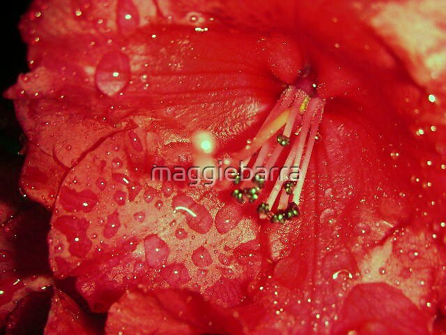 Rhododendron by maggiebarra