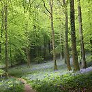 A walk in Bluebell Wood - image 3 by missmoneypenny