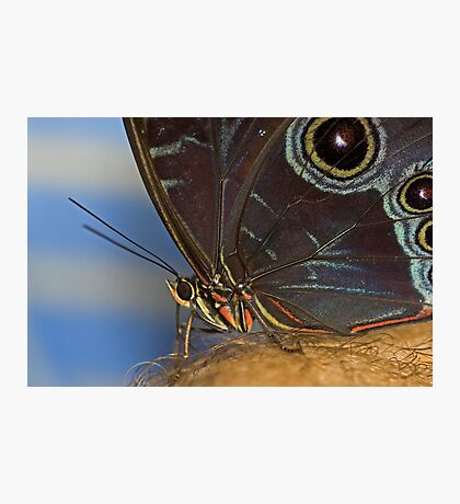 Owl Butterfly Macro Photographic Print