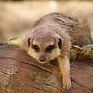 Meerkat by Peter Pevy