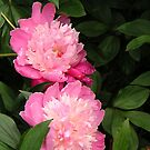 Pink Peonies by Gail Falcon