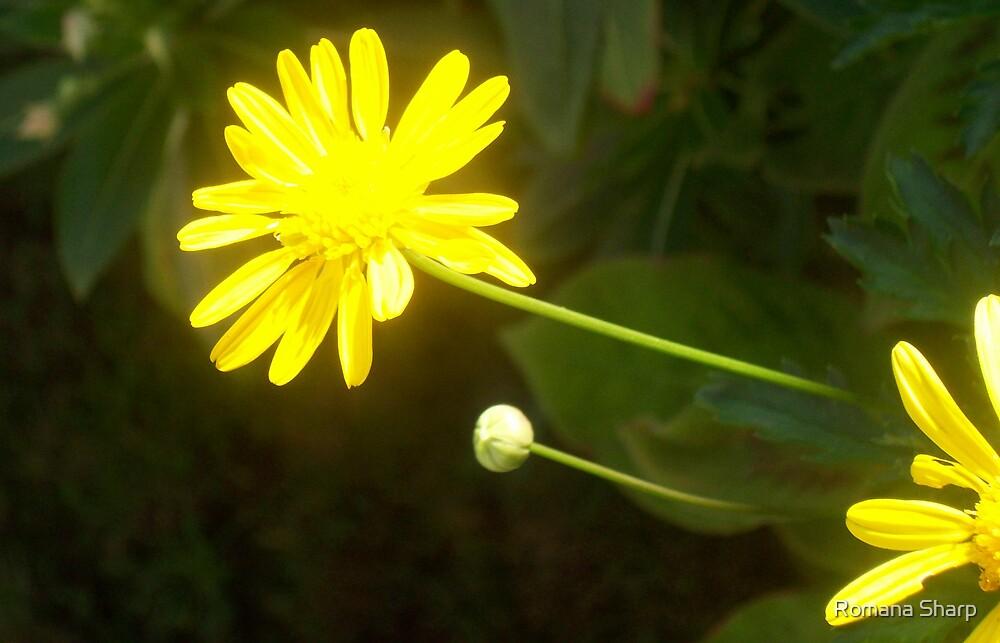 Reaching for the Sun by Romana Sharp