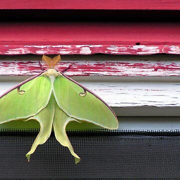 Luna Moth by trittium
