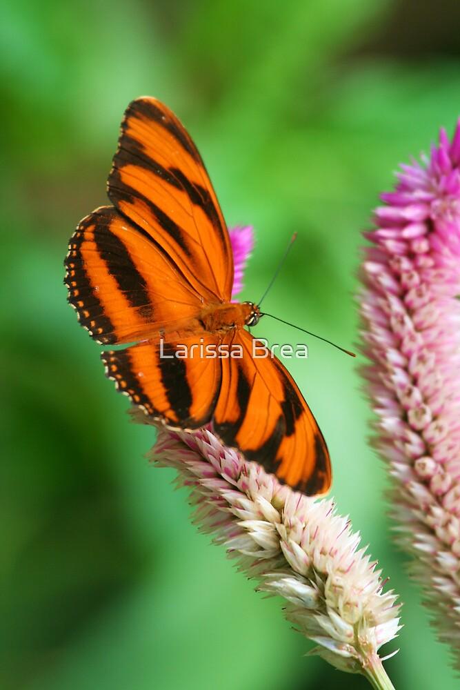 Banded Orange Butterfly I by Larissa Brea