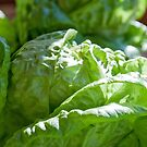 Lettuce for a BLT Anyone by Sherry Hallemeier