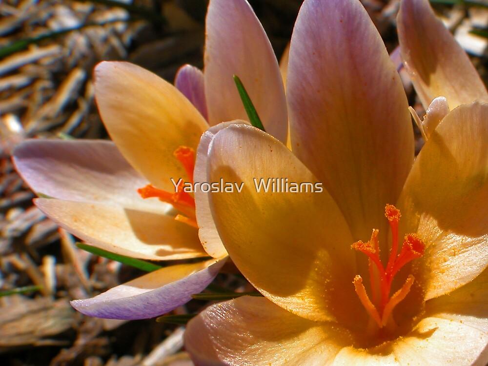 Early spring flower by Yaroslav  Williams