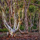 Long Forest Mallee by Bette Devine