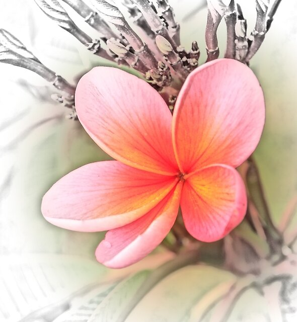 Tropical Frangipani by tismeau