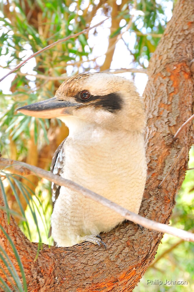Fluffy Says Thank You for the views and shows his Left Profile - Kookaburra, Syney Australia by Philip Johnson