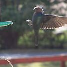 CowBird in Flight by Starr1949