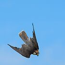 Lanner Falcon Dive  by M S Photography/Art