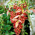 Red Berries  by Cynthia48
