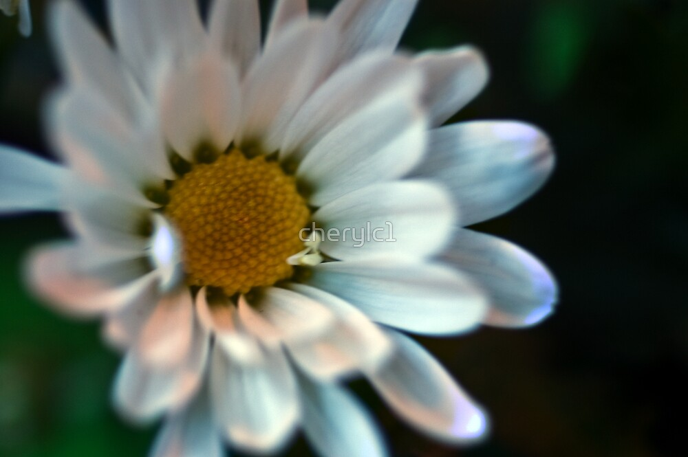 Daisies of two by cherylc1
