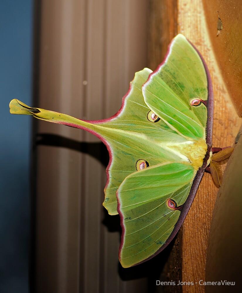 The Luna Moth (Actias luna) by Dennis Jones - CameraView