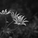 Flannel Flower by Clare Colins