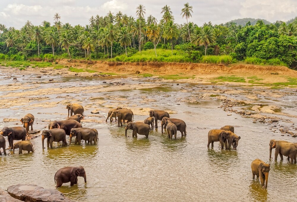 Elephants at the River - Pinnawala Sri Lanka by TonyCrehan