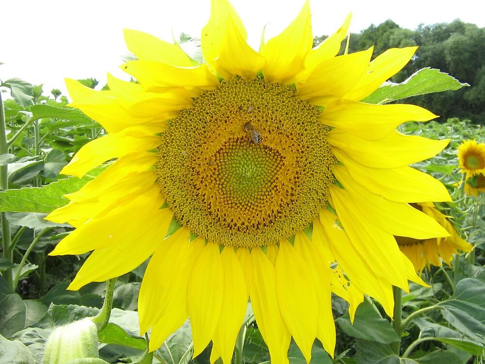sun flower near National Park Podyjí by marta