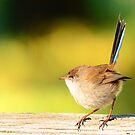 Fairy wren by Peter Krause