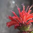 Red Mondara (Bee Balm) by BonnieJames