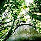 Bamboo by Nicholas Averre