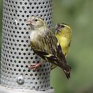 Siskins      edited              view large for detail by jamluc