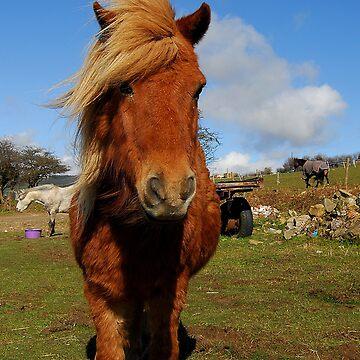 little legs, shetland pony  by zacco