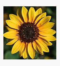 The Bright Eyed Sunflower Photographic Print
