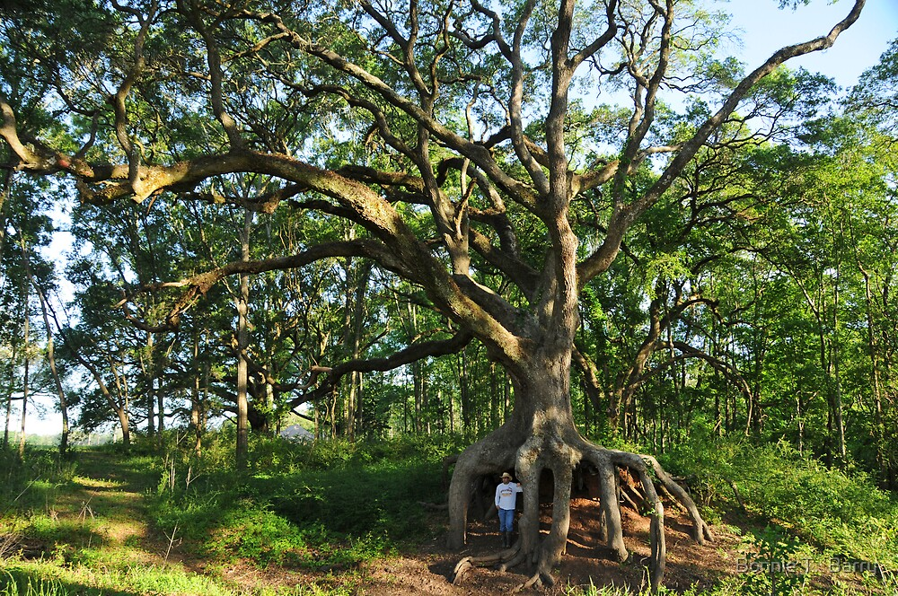 Under the Old Oak Tree II by Bonnie T.  Barry
