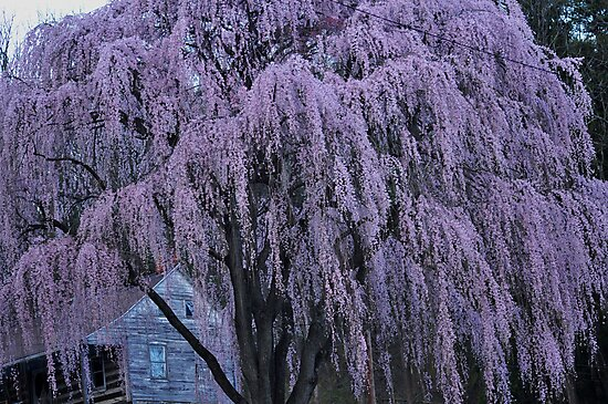 Magnificent Weeping Cherry  by LavenderMoon