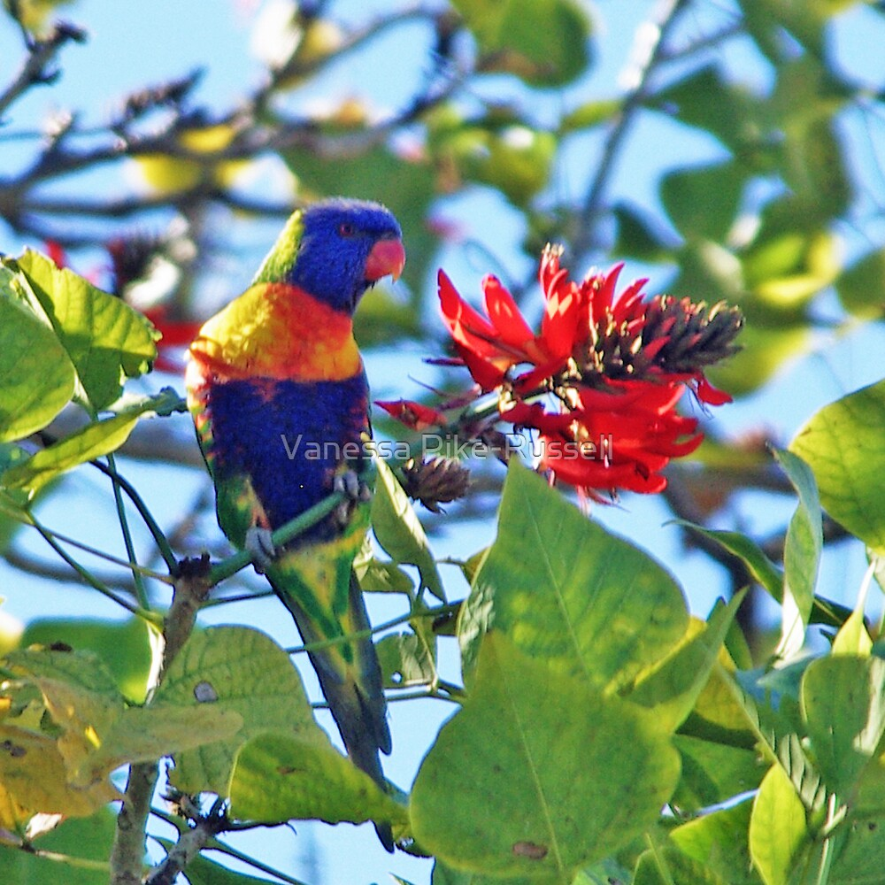 Rainbow Lorikeet by Vanessa Pike-Russell