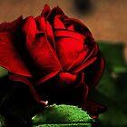 Blood Red Rose by Evita