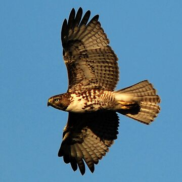 Immature Red-tailed Hawk in Flight by photoforyou
