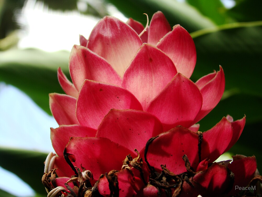 Tropical flowers series - blush ginger by PeaceM