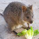 Breakfast time!   Rottnest Island 6 by Susan Moss