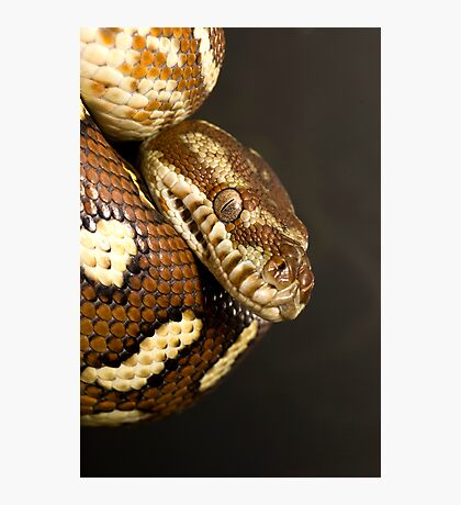 Bredl's Python Photographic Print