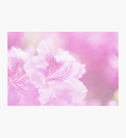 Soft and Lovely Pink Rhododendrons Photographic Print