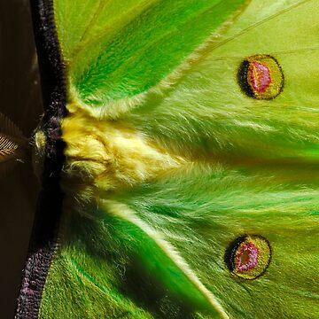Luna Moth (Actias luna) by CameraView